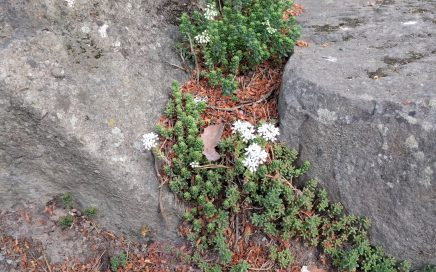 White flowers and wild succulents among the rocks. Photo by Jennifer Willis.