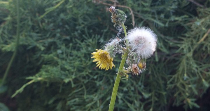 A dandelion stalk in Portland in July. Photo by Jennifer Willis.