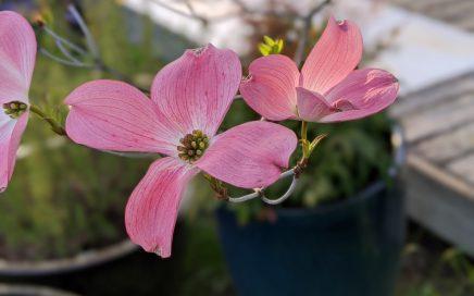 Pink dogwood in Portland, OR. April 2020.
