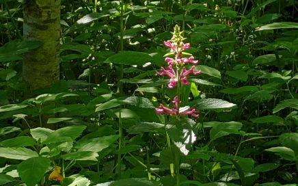 A pink flower against green leaves. Portland, Oregon. June 2020.