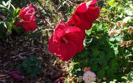 giant red hibiscus flowers in Portland, Oregon. (September 2021; Jennifer Willis)